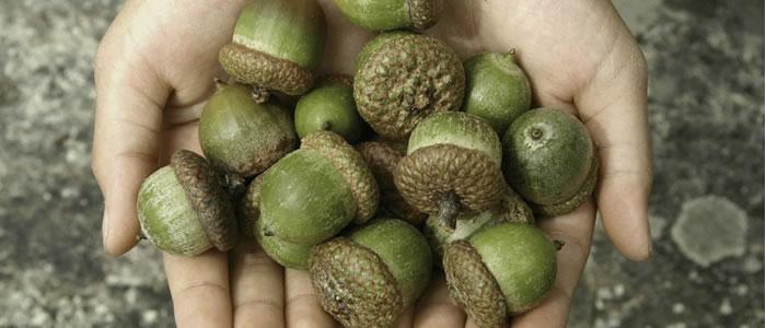 acorns in hands